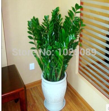 30 Pcsbag Chinese Ficus Benjamina Bonsai Tree Plants Flowers Potted