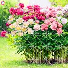 10 pcs Double Blooms Peony Seeds Heirloom Sorbet Robust Peony Red Bonsai Flower Seeds Pot Tree Peony Seeds Garden Plant