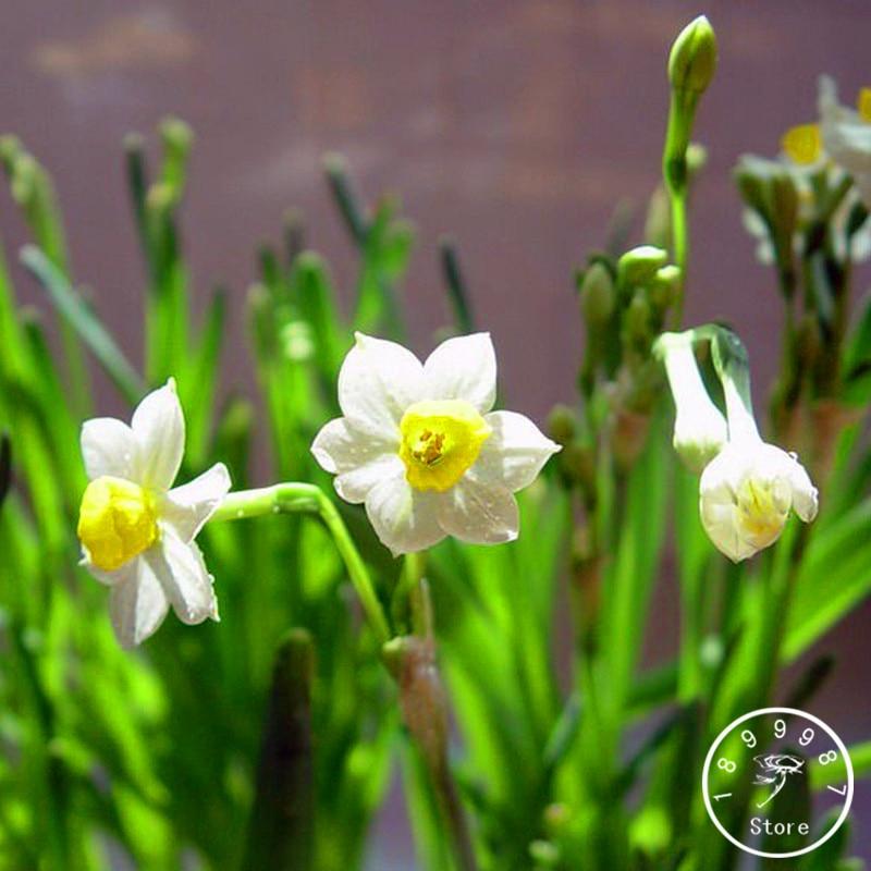 New Fresh Seeds White Daffodils Beautiful Bonsai Daffod