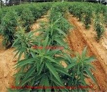 100seeds/bag Mixed rare  seed, organic hemp seeds, free shipping