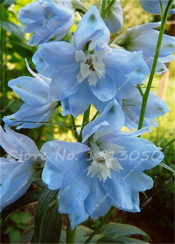 Beautiful, beautiful delphiniums
