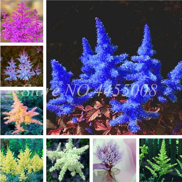 False spiraea mixed astilbe perennial flower bonsai 100pcs bag false spiraea mixed astilbe perennial flower bonsai 100pcs bag outdoor cold hardy heat tolerant mightylinksfo