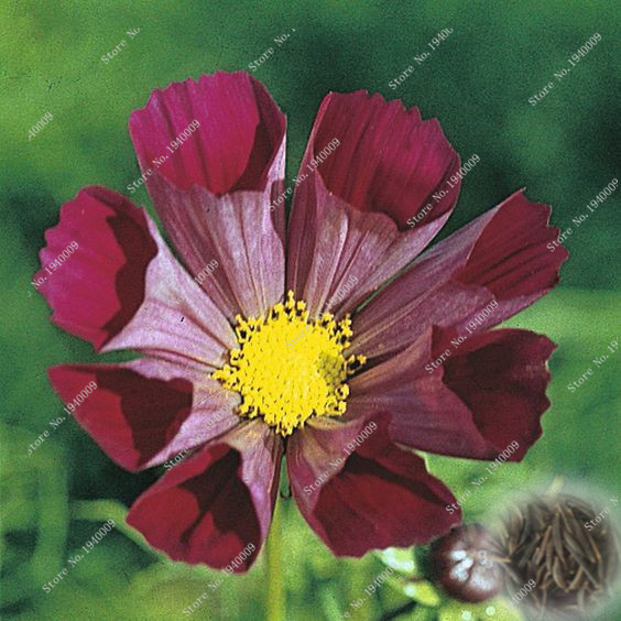 100 Pcsbag Cosmos Perennial Flower Potted Planted For Home Garden