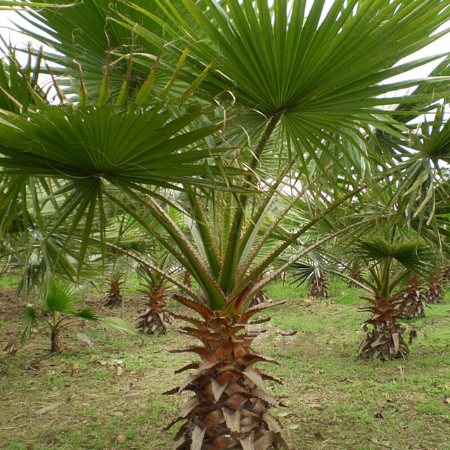 Potted plant Tree seeds Authentic Palmetto seeds Bonsai Home ...
