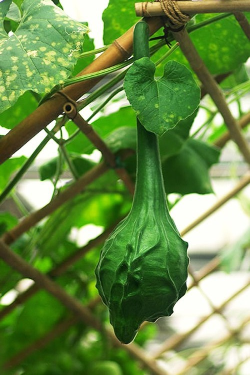 Bottle Gourd Seed 4 Seeds Of Each Pack Red Crowned Cran