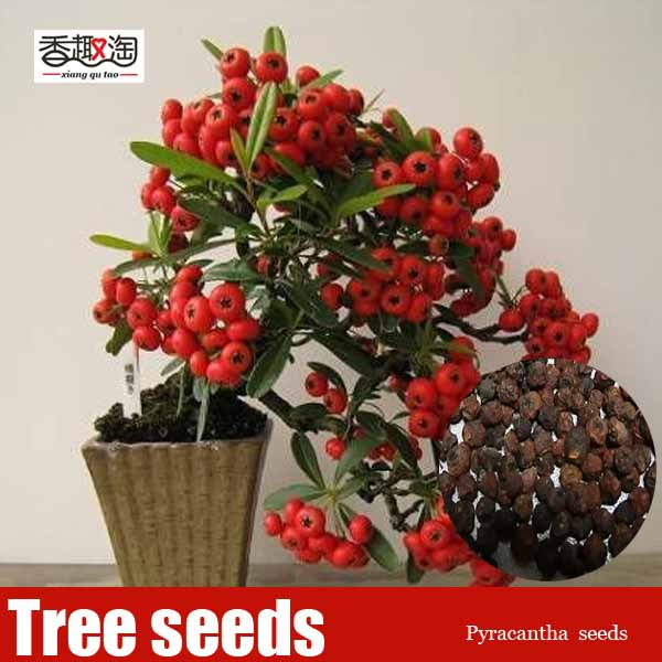 Free shipping 20pcs ornamental-plants Seeds Pyracantha, DIY Home Garden fruit bonsai tree Seeds