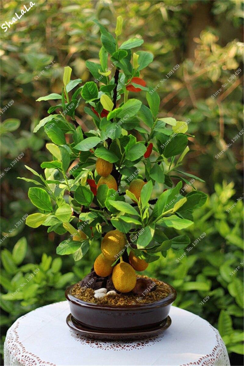 Jackfruit bonsai
