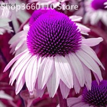30 pcs Rare Japan Echinacea Purpurea bonsai beautiful daisy flower plants home garden easy to grow