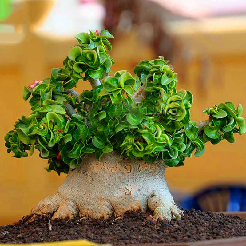 Promotion!1 Pcs A Bag Desert Rose  Indoor Flowers Mini Tree Home Garden Rare Flower Adenium Obesum