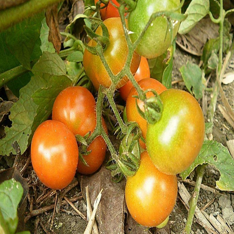 Bunches of bananas Hot Tomato Seed 500 seeds organic vegetable seeds