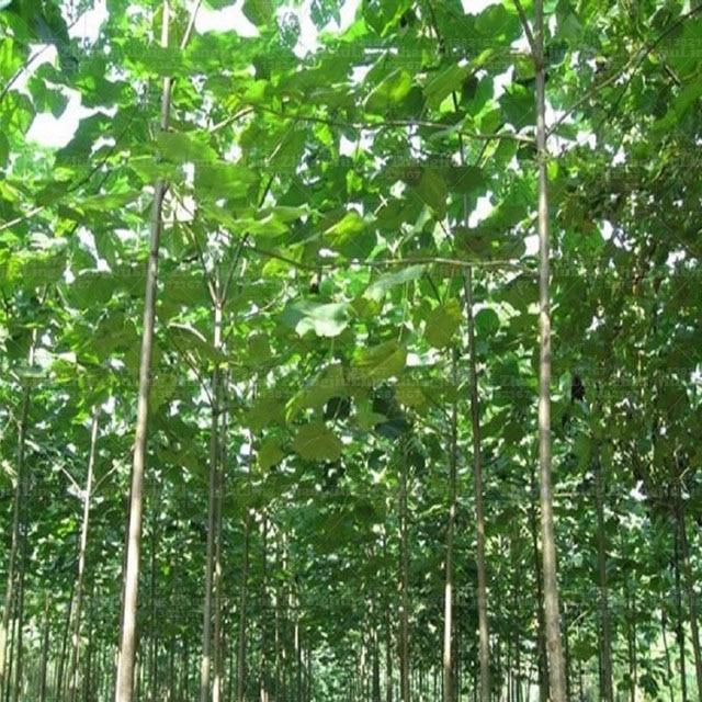 100 PAULOWNIA Elongata Seeds,Rare Princess Tree Seeds,Big Tree beautiful Flowers For Home Garden