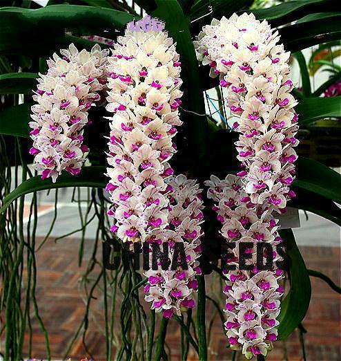 Acquista all 39 ingrosso online fiore di orchidea tipi da for Semi orchidea