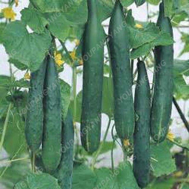 Nuovo 100 pz/borsa Cetriolo Piantare bonsai Verde Cetriolo bonsais Delicious Verdura Frutta plantas Per La Casa Decorazione del Giardino