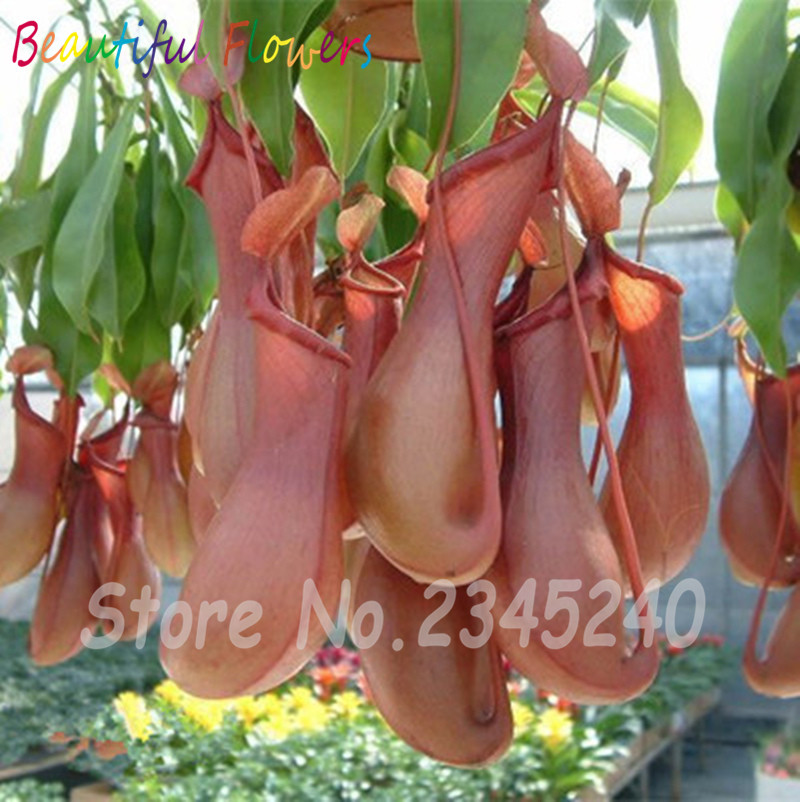 200pcs mosquito Nepenthes seeds potted flower seeds fun novelty patio/balcony  eat mosquito plant flowers - Compare Prices On Patio Mosquito Repellent- Online Shopping/Buy