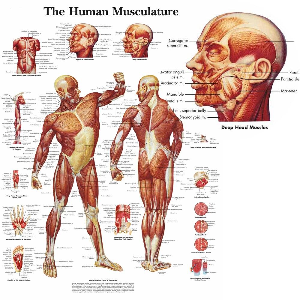 Menschlichen Anatomie Muskeln System Wand Kunst Poster Und Drucke ...