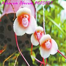 New! 100 pcs Rare Japanese monkey face orchid home garden plant bonsai kinds of novelty orchid tropical area easy to grow(China)