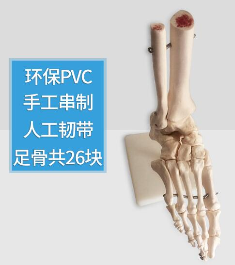 Foot joint model foot bone model foot bone model foot bone structure model PVC prediction of bone length from bone fragments