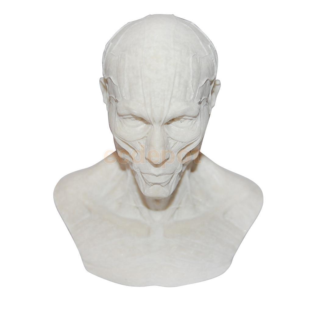 Resin Human Model Anatomy Skull Head Muscle Drawing School Figurine ...