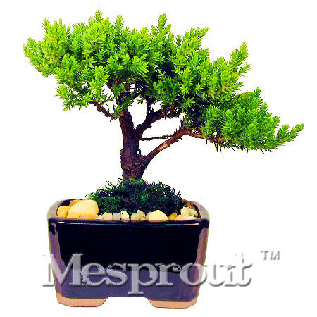 office bonsai tree. 50PCS MINI Juniper Bonsai Tree Seeds Potted Flowers Office Purify The Air Absorb Harmful Gases Free Shipping DIY Garden
