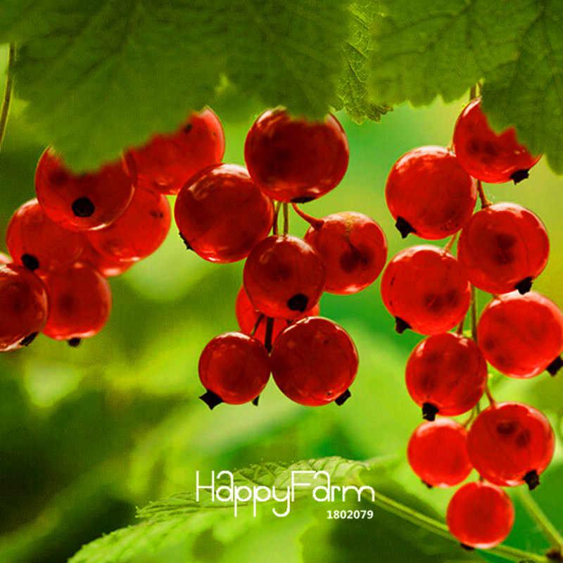 הגעה חדשה! אדום דומדמניות פירות צמח פאן-אמריקאי חזרזר בונסאי פנס פירות גן sementes דה fruta 10 פלורס/חבילה, #7 RKQK