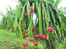 1 pack 200pcs pitaya Succulent Fruit Seeds, RARE*Rich in Vitamin C Fruit, dragon fruit cactus seeds bonsai Free Shipping
