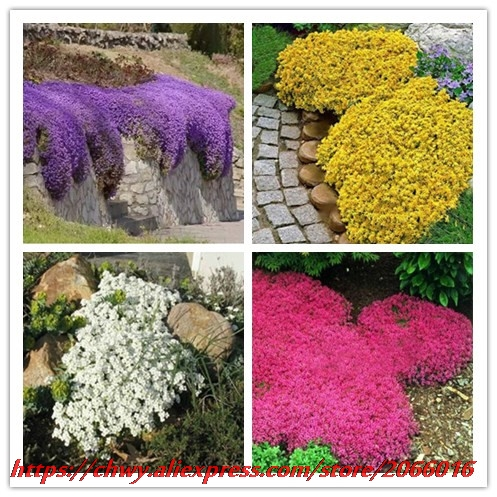 New hot 100pcs/bag Creeping Thyme Seeds or Blue chwy Seeds - Perennial Ground cover flower ,Natural growth for home garden