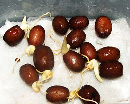 Salak Thai Salacca Very Hard to find SALACCA ZALACCA Snake Fruit Seeds Rare
