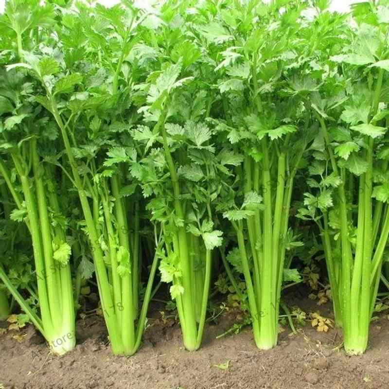 200 Pcs Parsley Plant Concentrated Flavor And Tender Crisp Celery Bonsai small home garden cultivati Free Shipping