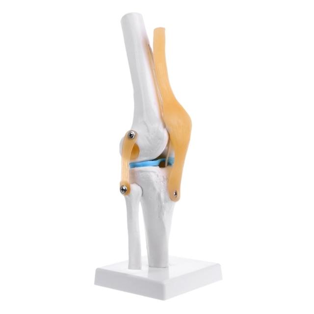 Menschlichen Anatomische Knie Gemeinsame Flexible Skeleton Modell ...