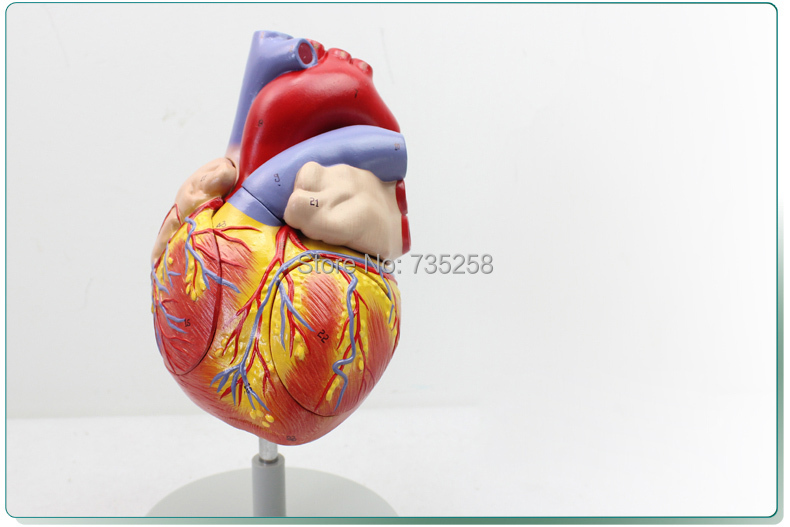 Writ large Heart Anatomy Model,Four Parts Decomposition Model Heart Anatomy sagitally section model about tissue decomposition model for doctor patient communication model with magnetic