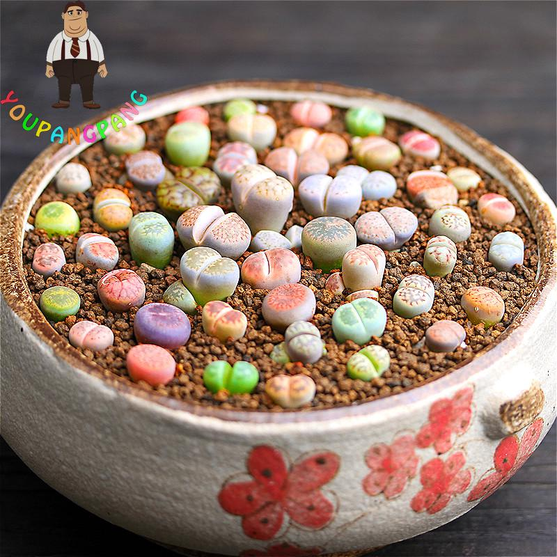 100 Pcs A Bag Lithops Pseudotruncatella Living Stone Rare Bonsai Succulents Seeds Garden Plants Semillas , Home Flower Seeds