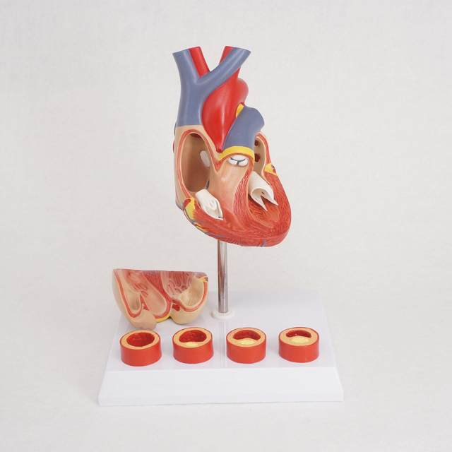 Online Shop Life Size Human Heart Anatomy Model With 4 Stage