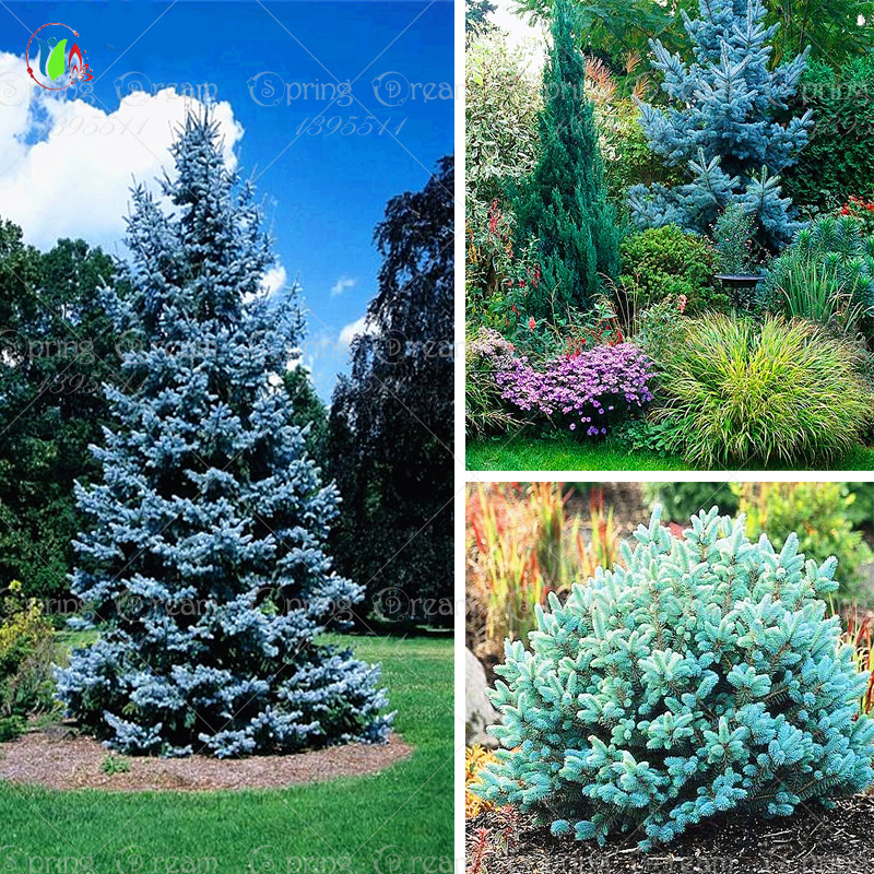 20 seeds /bag Home Garden Plant Colorado sky Blue Spruce Picea Pungens Glauca Tree Seeds sementes perennial seeds