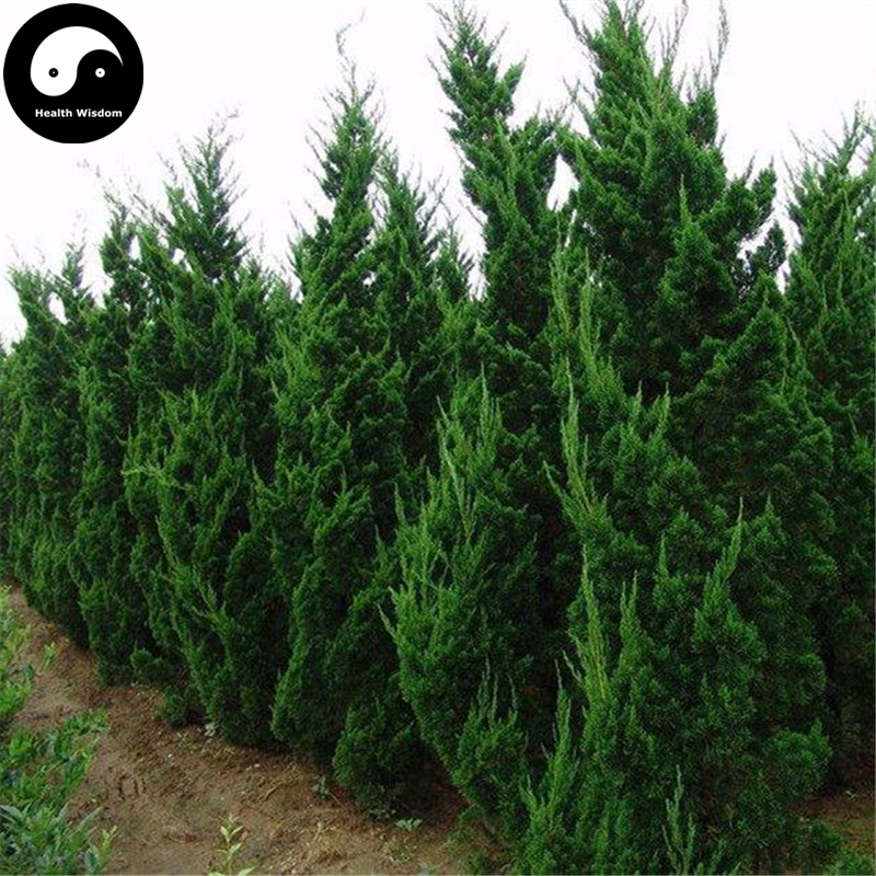 Home & Garden Buy Picea Asperata Fir Tree Semente 240pcs Plant Spruce Tree Chinese Yun Shan New Varieties Are Introduced One After Another