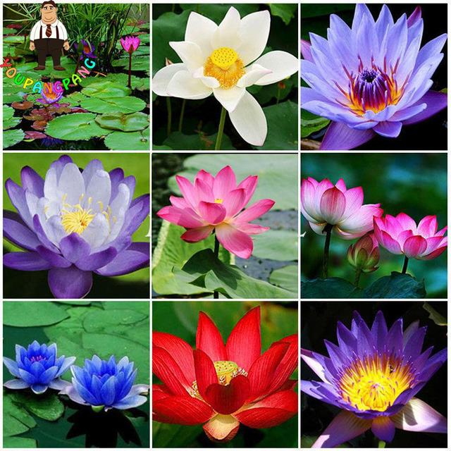 Hot Sale 5Pcs/Bag Lotus Flower bonsais Hydroponic Aquatic Plants Lotus bonsai Perennial Water Lily Plantas For Garden Decoration