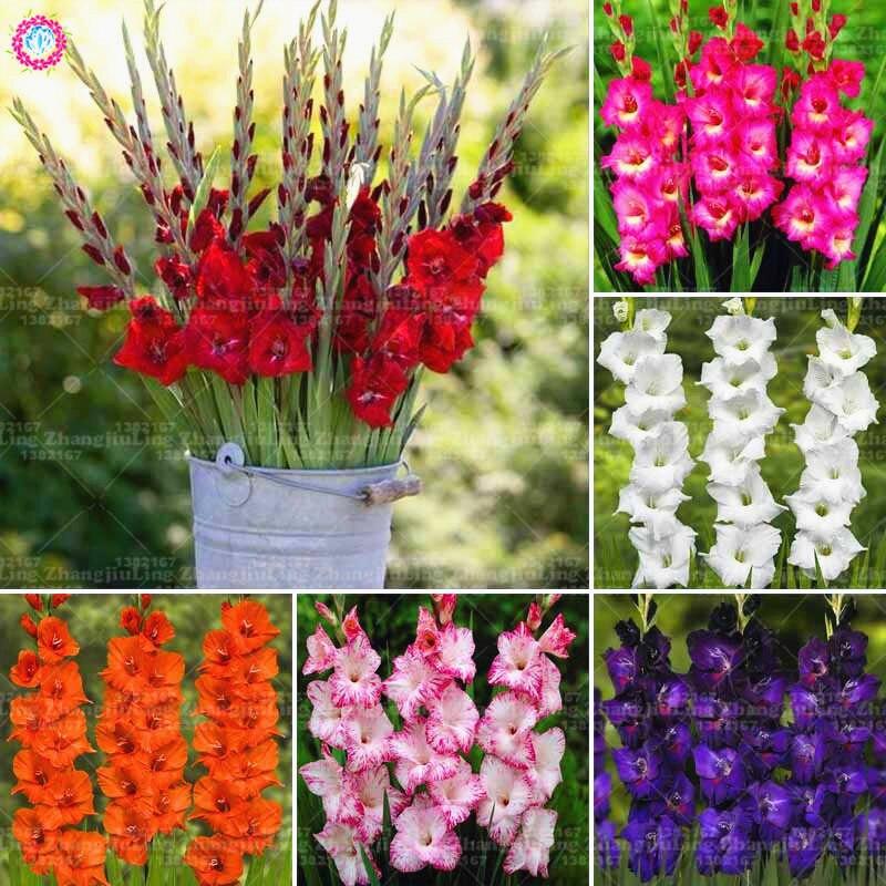 2 bulbstrue красные гладиолусы лампы красивый цветок гладиолуса лампы (не gladiolu семян ...