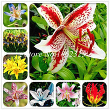 Free Shipping 100 pcs Imported Toad Lily Plant Outdoor Charming Perennial Bonsai Potted Lilum Flower Landscaping Garden Plant(China)