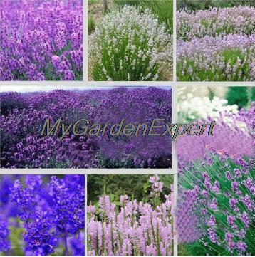 Hot Selling 200pcs/lot 5 Kinds Lavender Perfume Seeds F