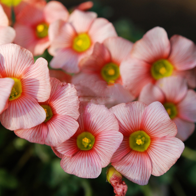 2 pcs rare normal oxalis obtusa blush oxalis flowers bulbs color rotary for garden bulb - Images Of Flowers To Color 2