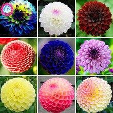 Шт. 50 шт., разноцветные цветы Dahlia pinnata! Многолетние растения бонсай цветы для дома сад горшках