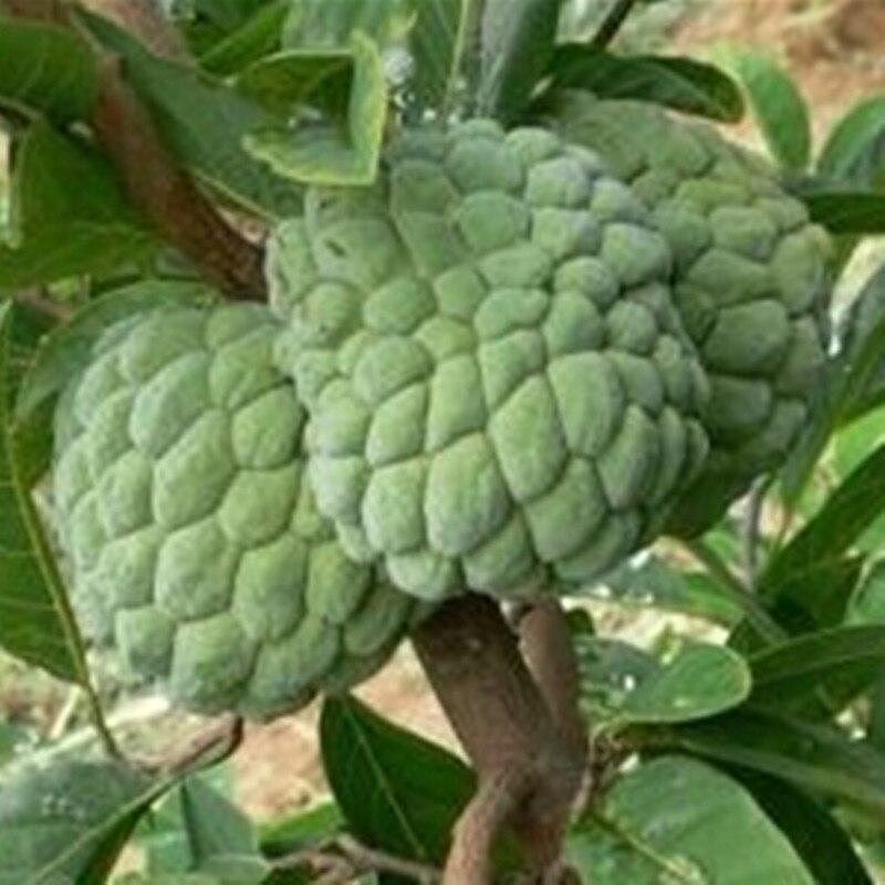 Graviola Soursop Guanabana Annona Muricata Seed Best