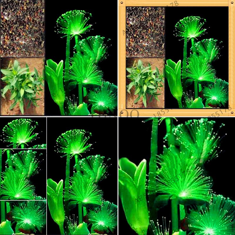 AuBergewohnlich 100pcs/bag Grass Water Emerald Fluorescent Flower Bonsai,Fish Tank Plants,  Dwarf Pearl Plants Aquarium Grass Garden In Bonsai From Home U0026 Garden On ...