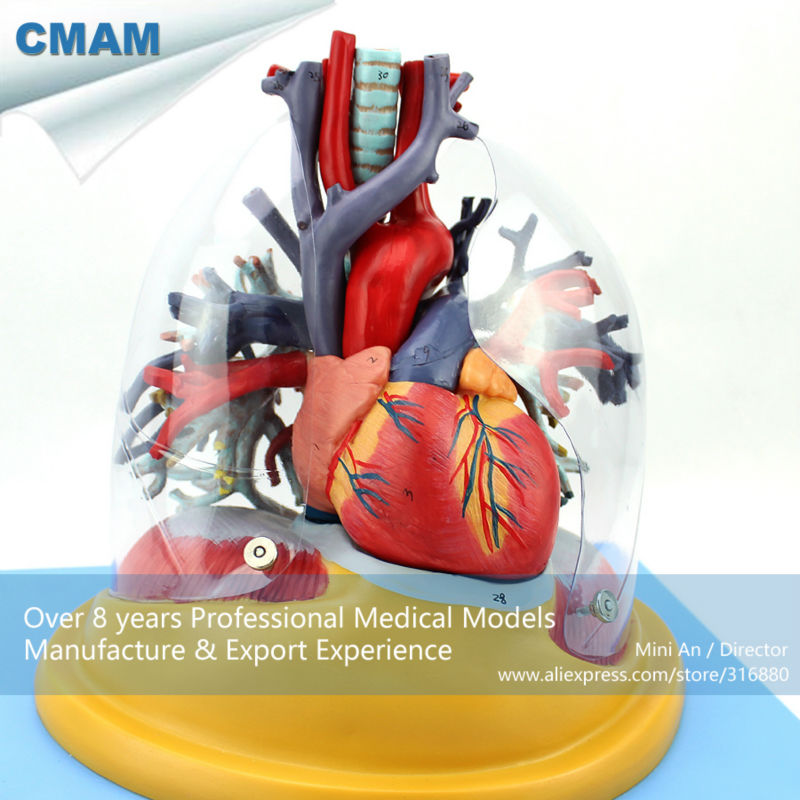 12477 CMAM-HEART01 Medical Anatomy Transparent Human Anatomical Lung with Heart Model 12338 cmam pelvis01 anatomical human pelvis model with lumbar vertebrae femur medical science educational teaching models