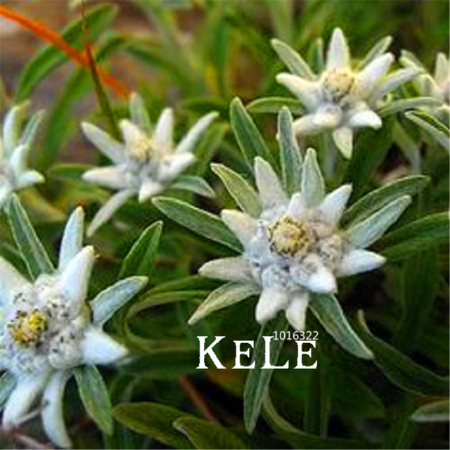 100 Seeds A Bag Lowest Price!Edelweiss Seeds Bonsai Seeds Potted ...