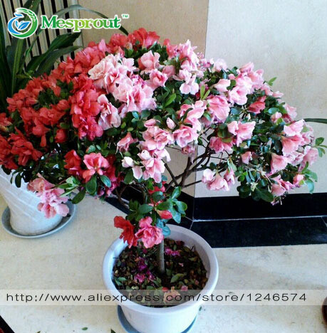 Buy 100pcs bag rhododendron seeds azalea biji potted seed flower seed - Flowers planted may complete garden ...