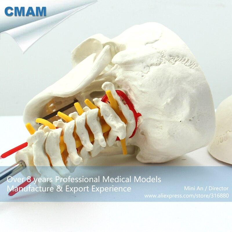 12332 / CMAM-SKULL06 Human Skull on Cervical Vertebrae/Spine Anatomical Model,  Medical Science Teaching Anatomical Models12332 / CMAM-SKULL06 Human Skull on Cervical Vertebrae/Spine Anatomical Model,  Medical Science Teaching Anatomical Models
