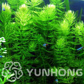 100pcs rare flower bonsai mini aquarium Cabomba Caroliniana plant tank underwater aquatic plant bonsai easy plant home & garden