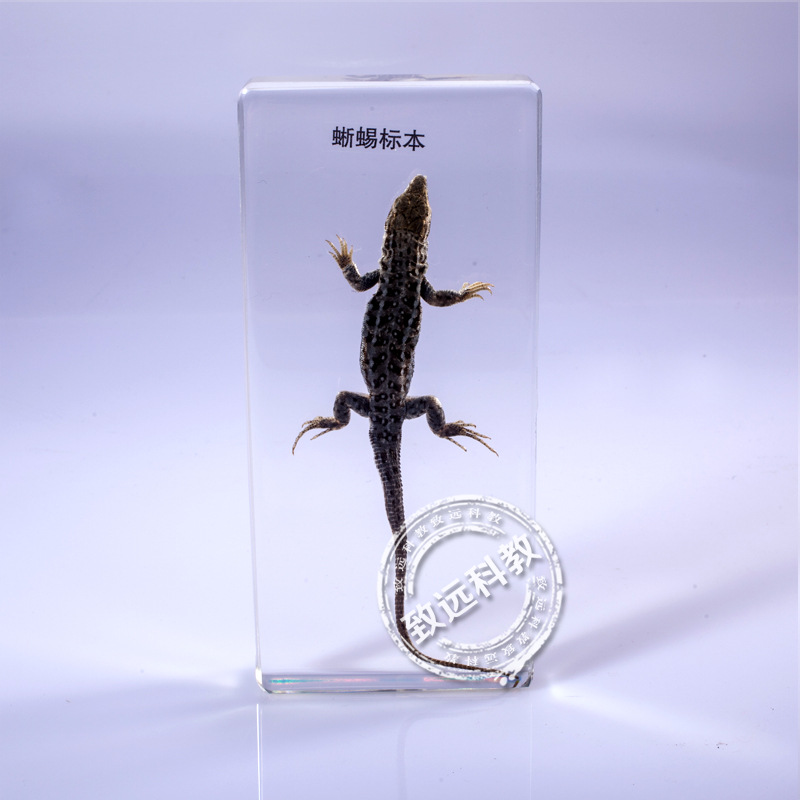 Real Lizard Specimens In Clear Lucite Block Educational Instrument Middle school biology School teaching aids 6.4*1.8*14cm fishbone fispecimens in clear lucite block educational instrument middle school biology school teaching aids