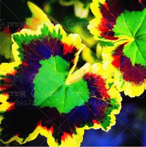 2016 100pcs/bag Rare Japan Geranium Seeds Perennial Flower Seeds Pelargonium Peltatum Flowers Indoor Rooms plant pot bonsai