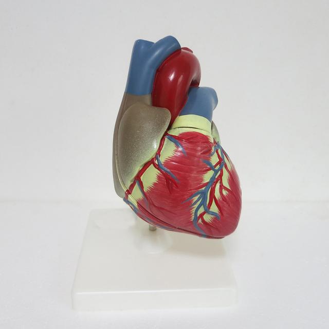 3 vezes grande PVC Figurinhas Cardiac anatomy modelo ferramenta de ensino ferramenta educacional Clínica Médica